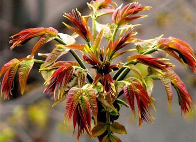香椿的家常做法大全 这种长在树上的青菜深受食客喜爱