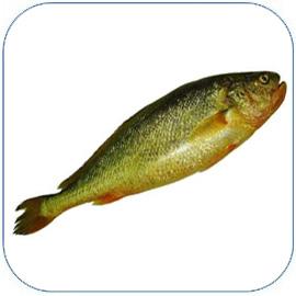 黄花鱼是优质海鲜鱼,大黄鱼、小黄鱼的营养价值和功效作用