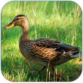 鸭子是种优质家禽 鸭肉、鸭血、鸭蛋 鸭肉的营养价值 鸭子的做法