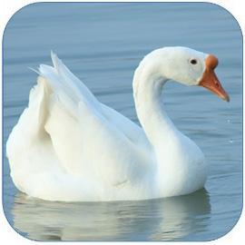 鹅肉是高蛋白低脂肪低胆固醇的健康食材 营养价值高 鹅的做法和吃