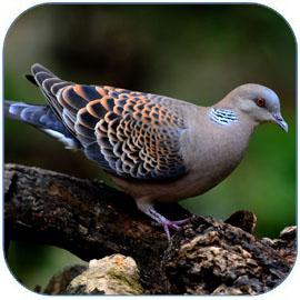 肉鸽是高蛋白低脂肪美味佳肴 鸽子的营养价值和功效作用