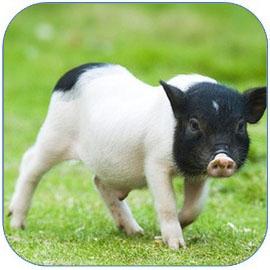 香猪肉嫩味香营养丰富 香猪的营养价值和功效作用