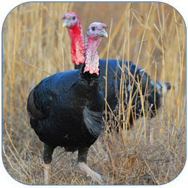 火鸡是西方特色美食 火鸡的营养价值和做法