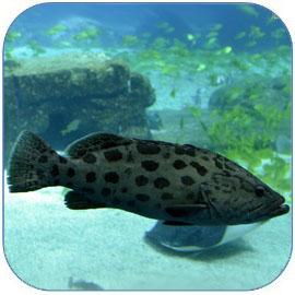 石斑鱼肉质细嫩,高蛋白低脂肪的名贵海鲜鱼类
